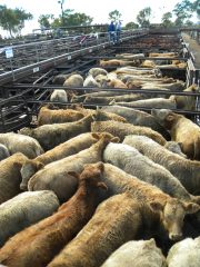Inverell Steers 004