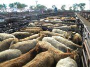 Inverell Steers 005