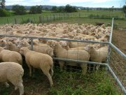 white suffolk x bl merino lambs sired by smithston rams at barella barraba