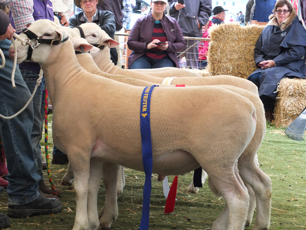 Champion White Suffolk Ram Glen Innes Show 2017