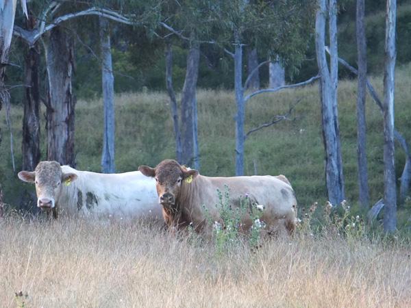 Smithston Bred Charolais Bulls